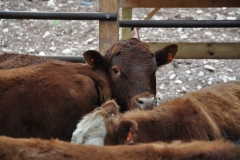 Beef Cattle on an eased property