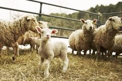Sheep at Stone and Thistle Farm