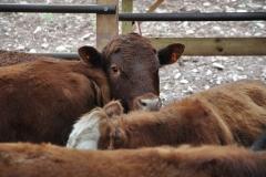 Beef Cattlle