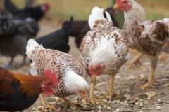 Chickens on a participant farm