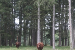 Beef Cattle in the Croton Watershed