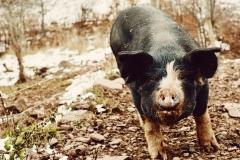 Pig at Maple Shade Farm