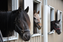Horses at Windswept Acres